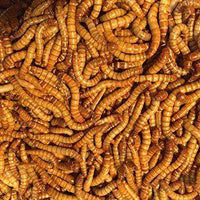 "Bulk Live Mealworms - 1000 count (Large - 1"")?? - World of Birdhouses"