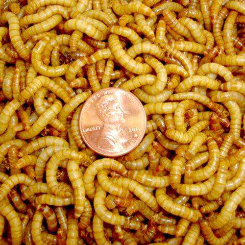 500ct Mealworms Live Reptile, Bird, Fish Food - World of Birdhouses