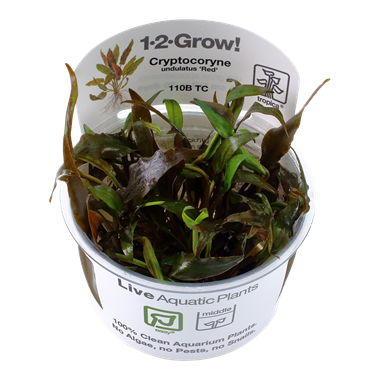 Tropica 1-2-Grow! Cryptocoryne Undulatus 'Red'