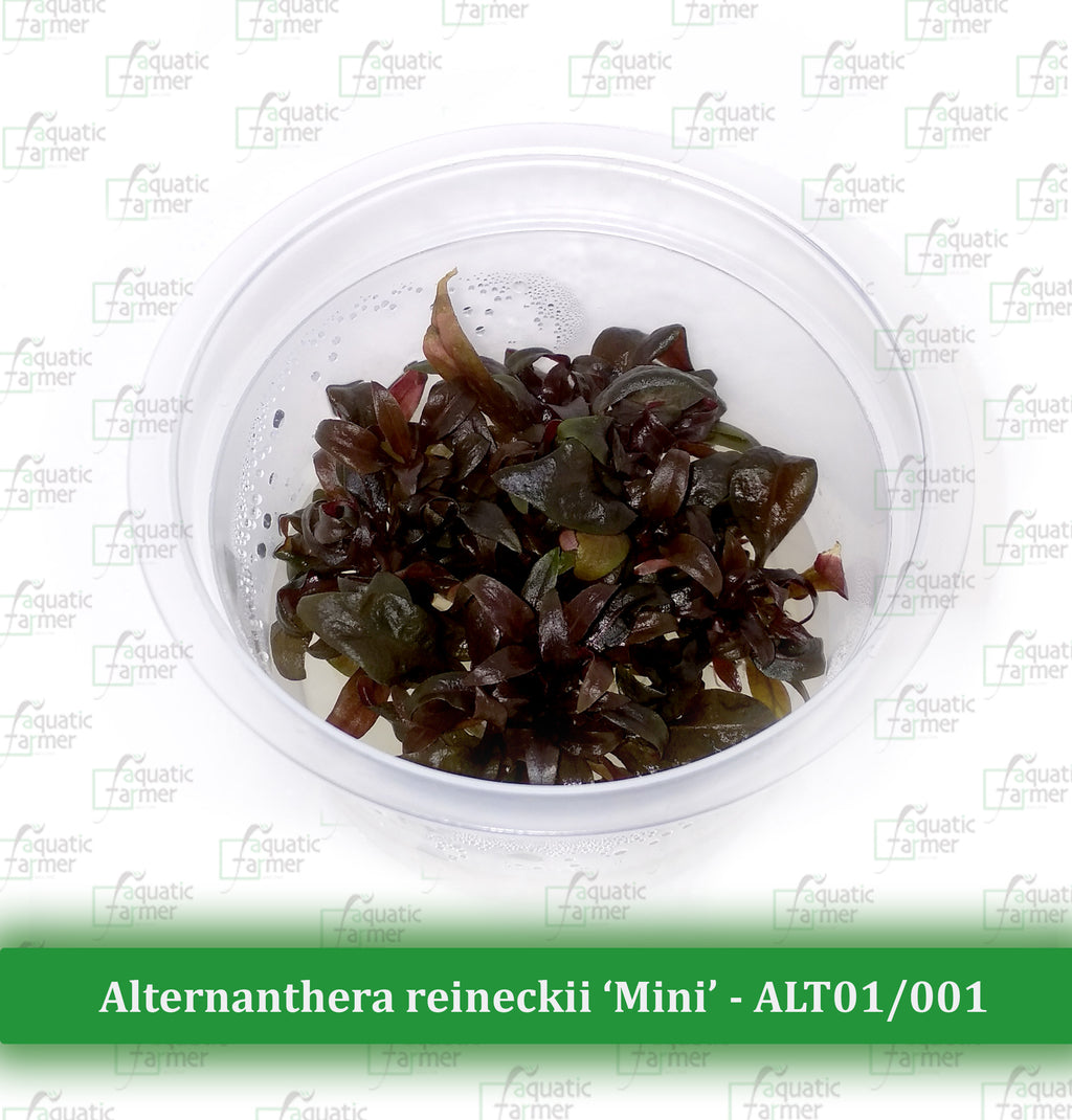Aquatic Farmer - Alternanthera Reineckii 'Mini'