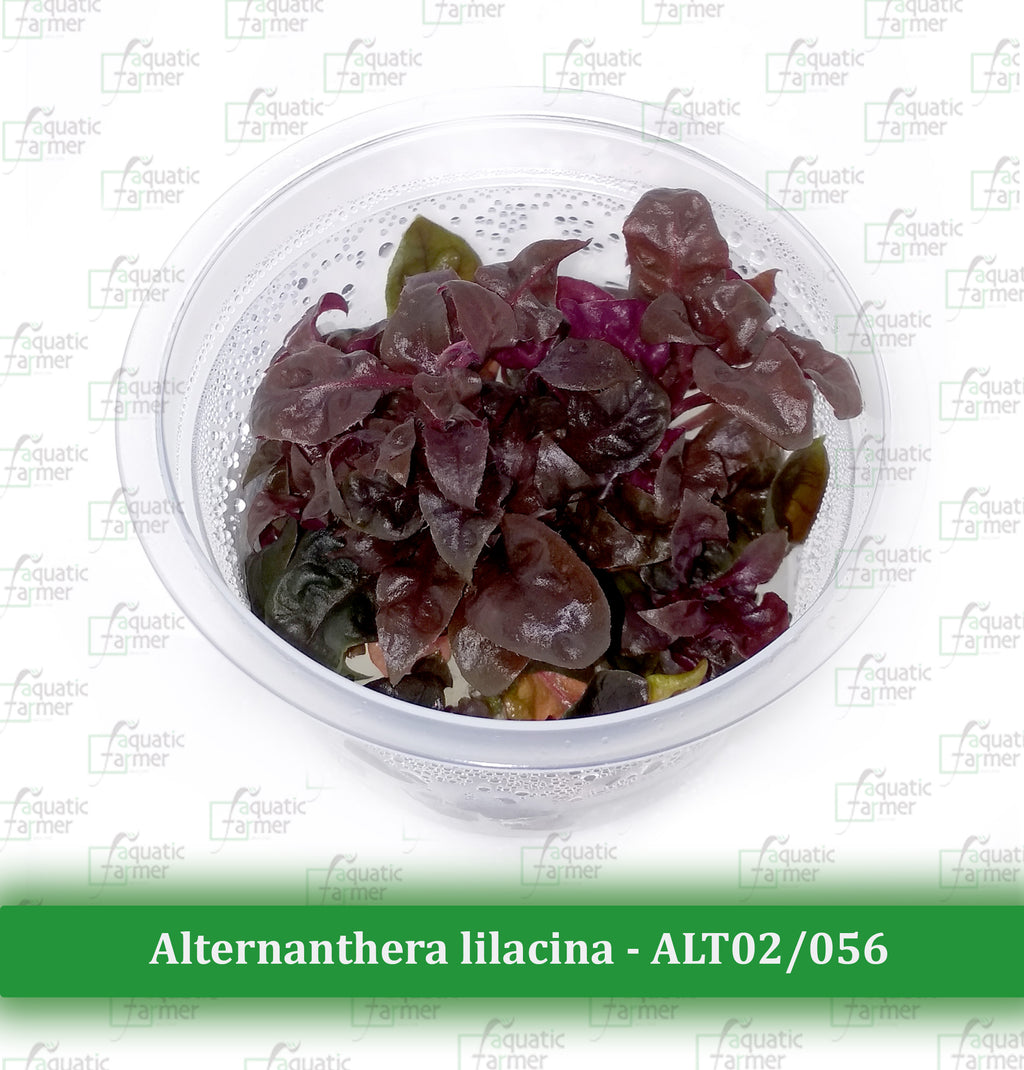 Aquatic Farmer - Alternanthera Lilacina