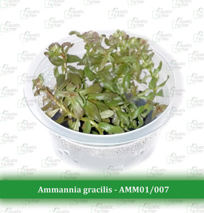 Aquatic Farmer - Ammannia Gracilis