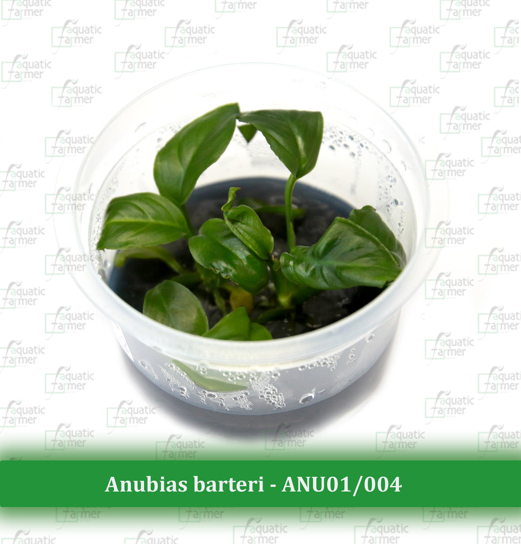Aquatic Farmer - Anubias Barteri