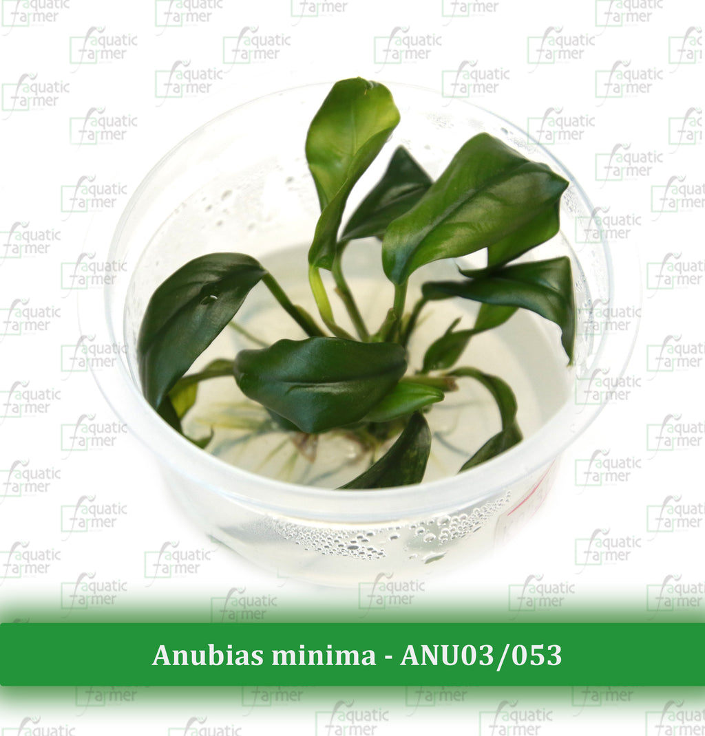 Aquatic Farmer - Anubias Minima