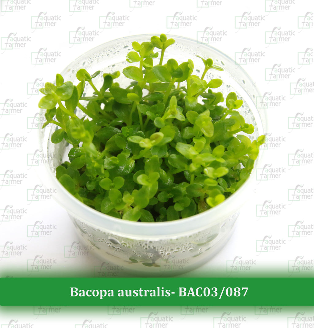 Aquatic Farmer - Bacopa Australis