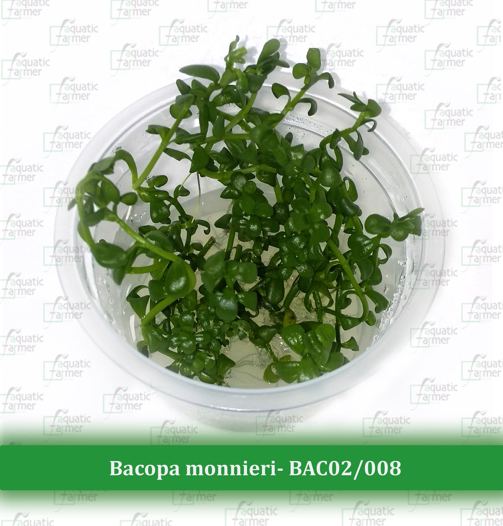 Aquatic Farmer - Bacopa Monnieri