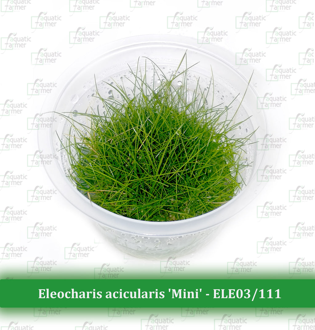 Aquatic Farmer - Eleocharis Acicularis 'Mini'