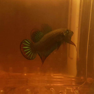 Betta Siamorientalis (Pair)