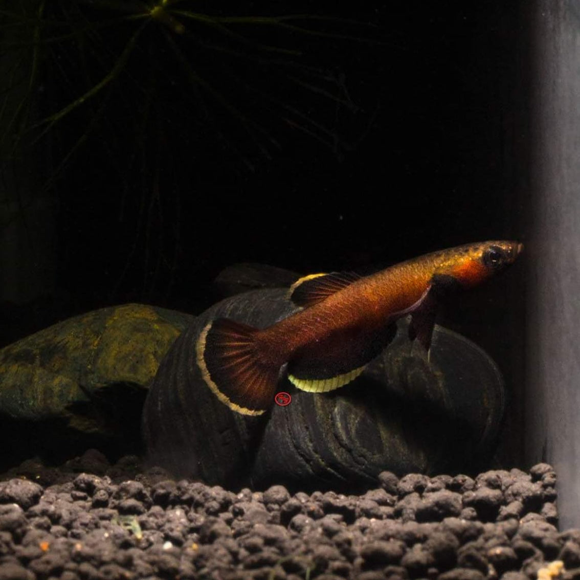Betta Albimarginata (Pair)