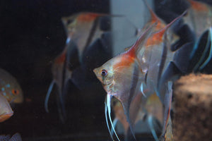 Pterophyllum Scalare sp. Manacapuru Red
