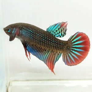 Betta Imbellis