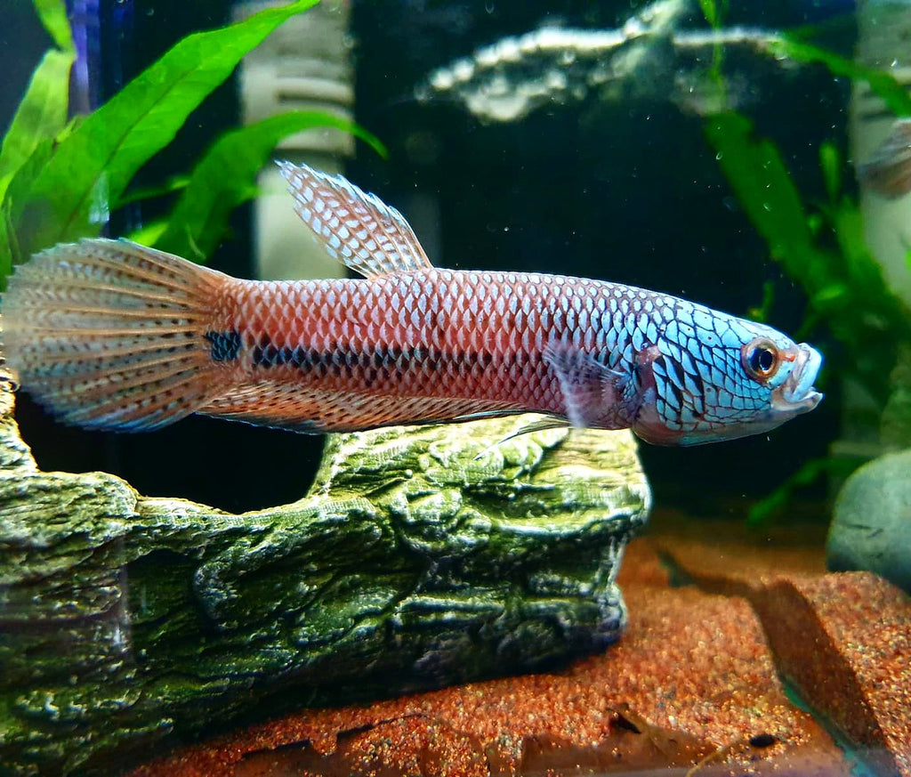 Betta sp. Antuta (Pair)