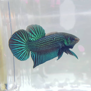 Betta Mahachaiensis