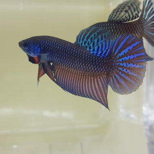 Betta Stiktos (Pair)