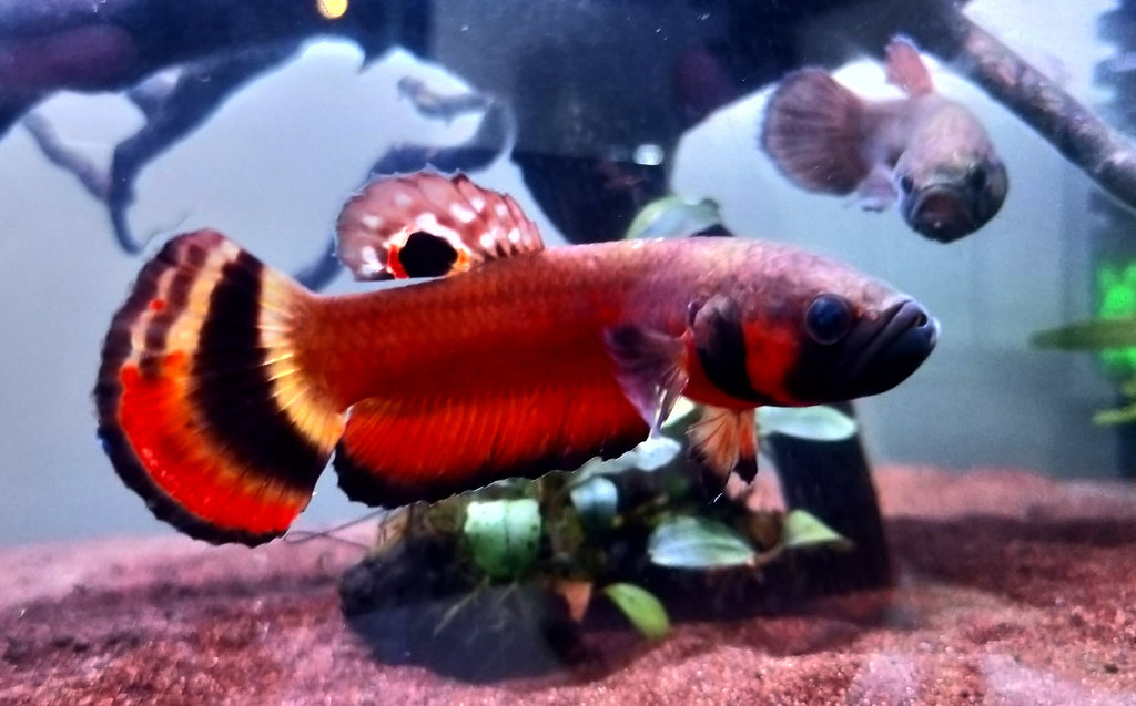 Betta Macrostoma (Pair)