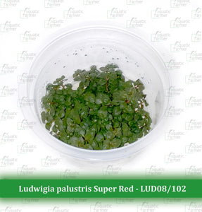 Aquatic Farmer - Ludwigia Palustris 'Super Red'