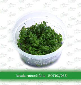 Aquatic Farmer - Rotala Rotundifolia 'Green'