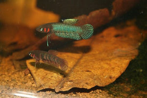 Betta Hendra (Pair)