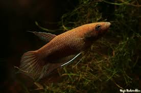 Betta Akarensis (Pair)