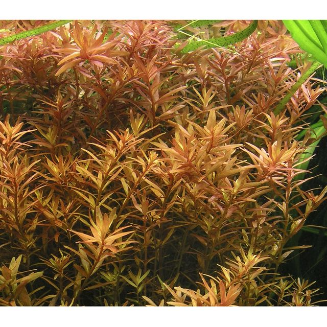 Rotala Rotundifolia 'Red'