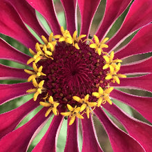 Golden Hour Zinnias Magnet Set