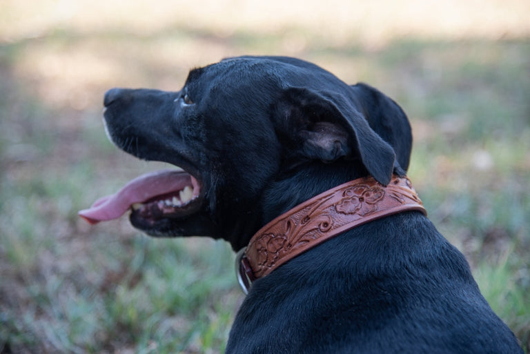 black dog wearing tan leather collar