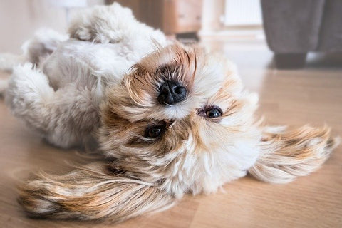 Cute dog rolling over