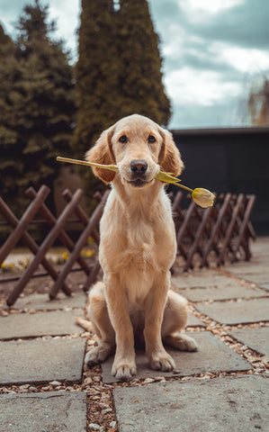 Dog holding flower in its mouth