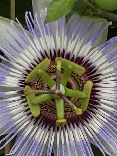 Close up centre of a passionflower