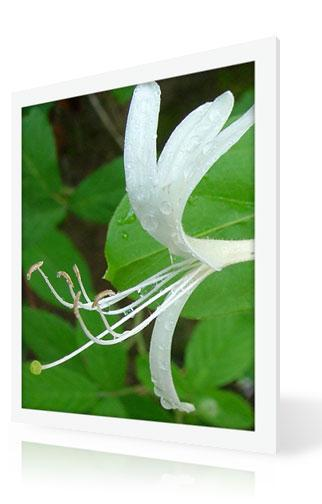 Japanese Honeysuckle Flower