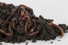 Red Wiggler Worms - Radical Roots Seed Bomb Company