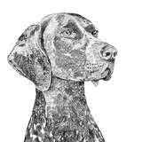 Bert The German Pointer Print