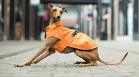 Canada Pooch Rain Coat Orange Size 14