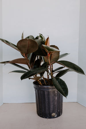 "8"" Rubber Tree"