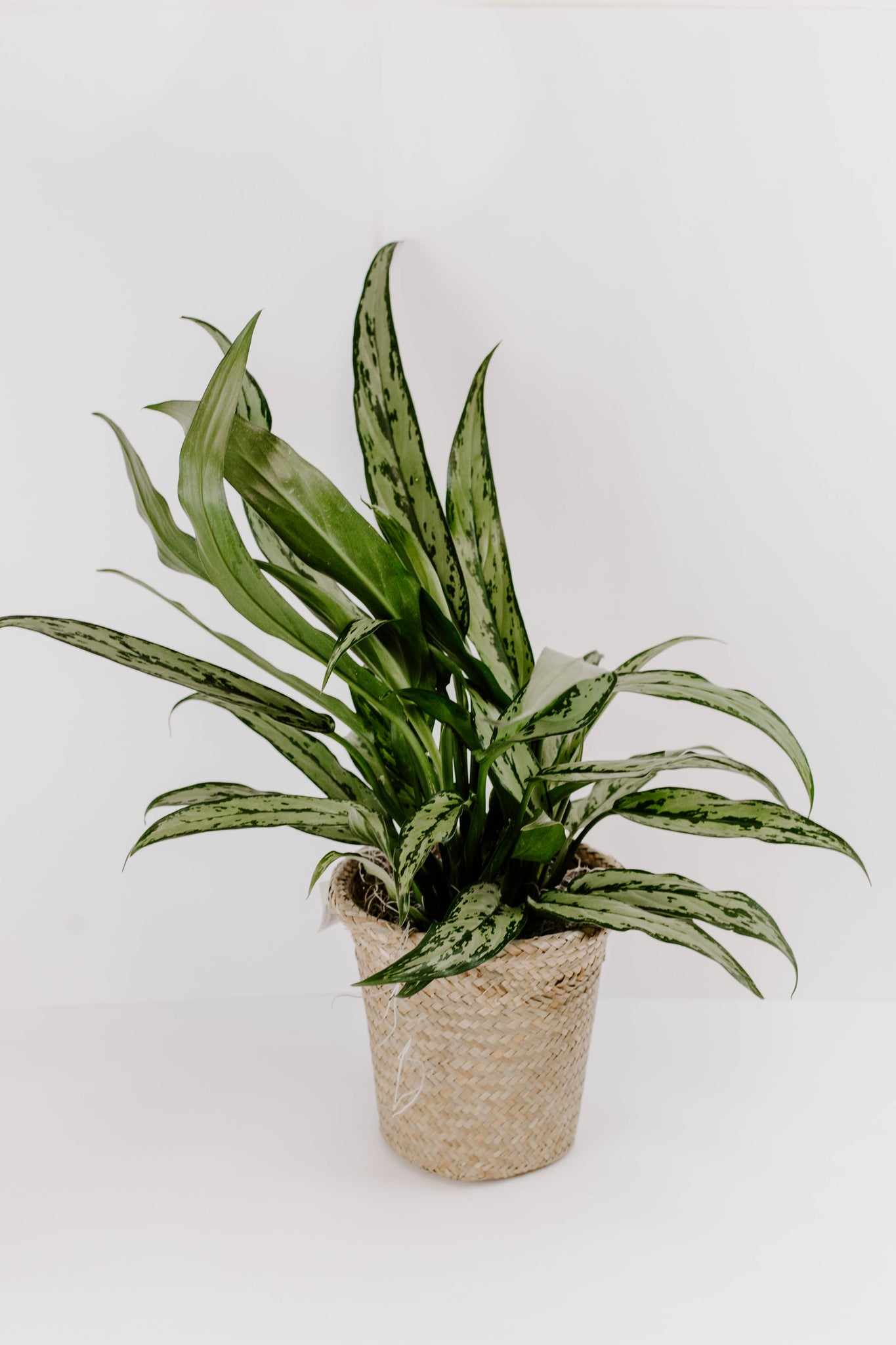 8 in. Green Plant