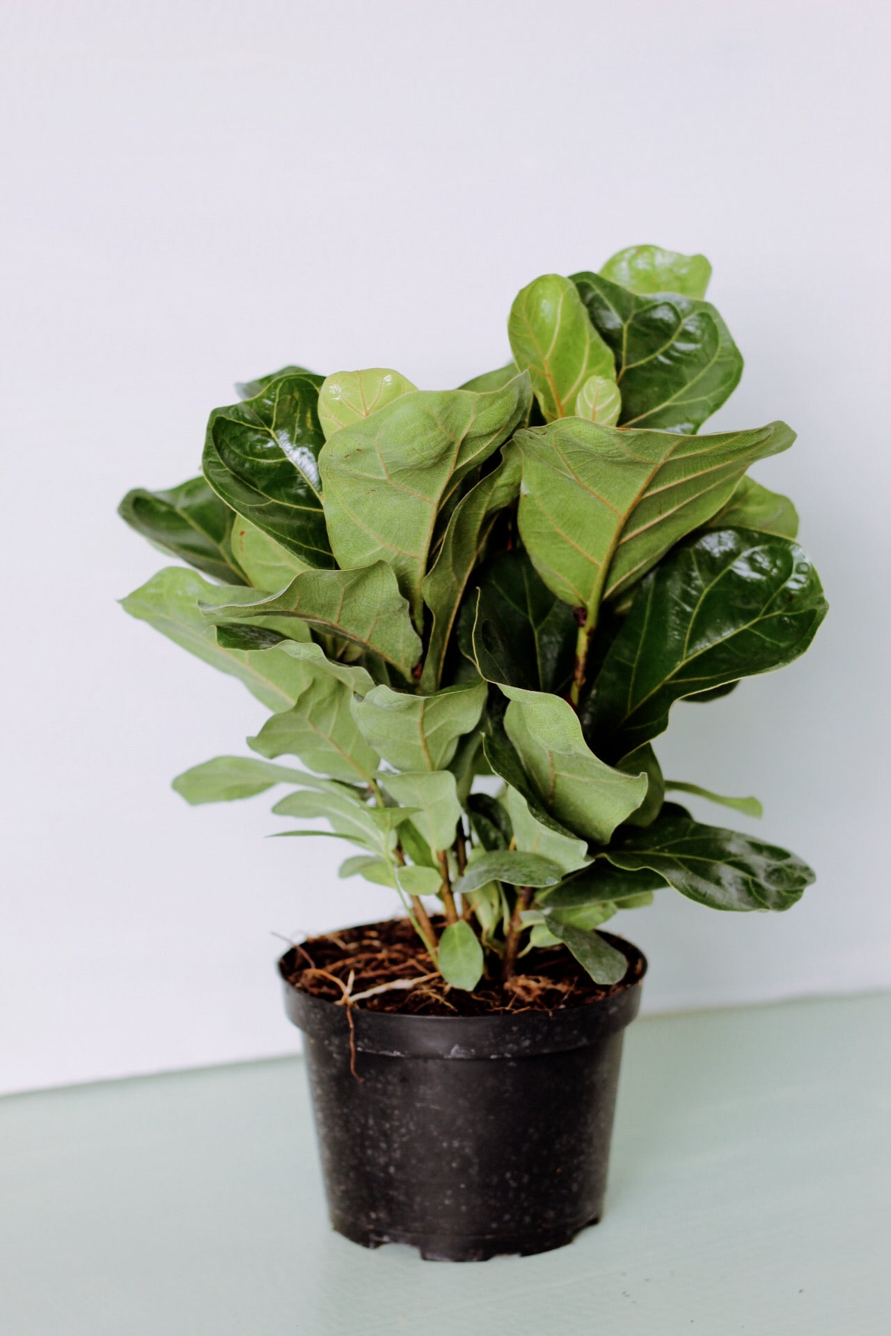 """Little Fiddles"" - 6"" Ficus Lyrata Bush"
