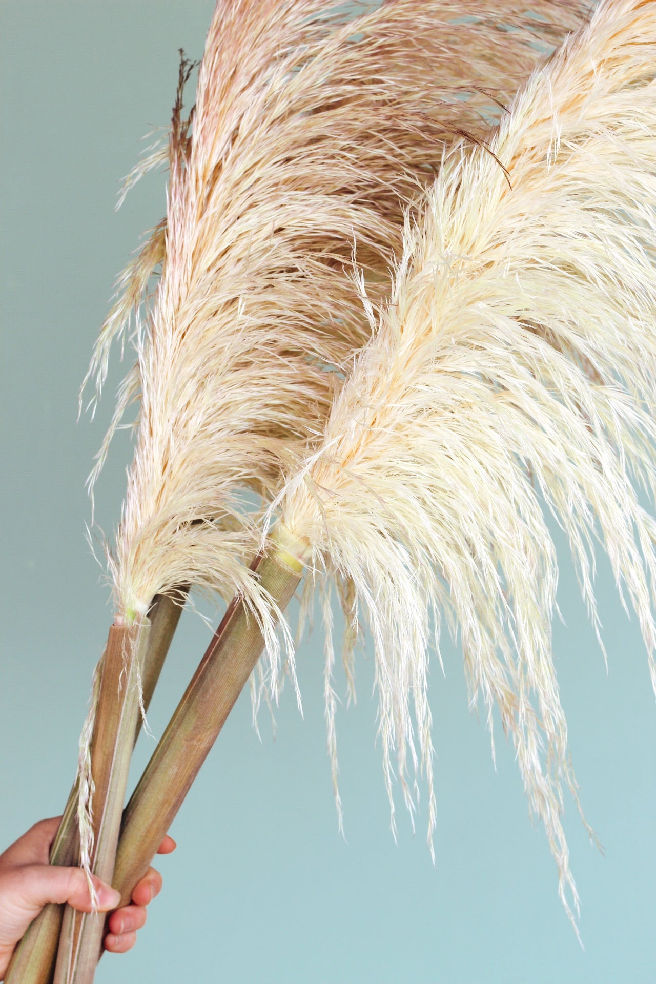 Fresh Cut Pampas Grass Stem
