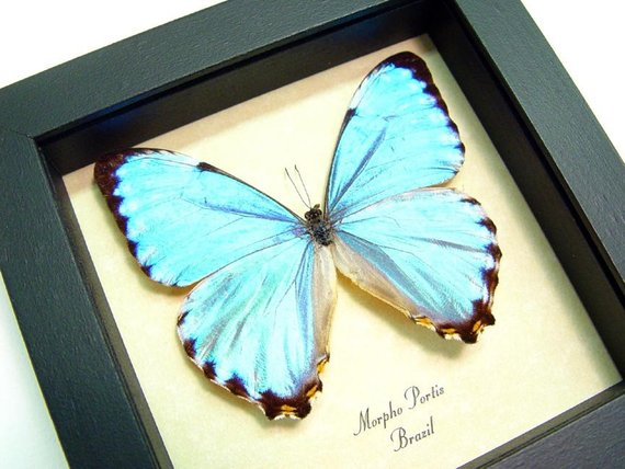 Blue Glowing Morpho Portis Butterfly