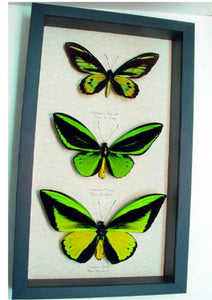 Ornithoptera 3 Birdwing Set