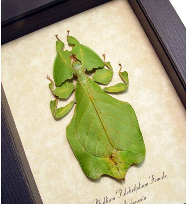 Phyllium celebicum F Real Framed Green Leaf Mimic Insect