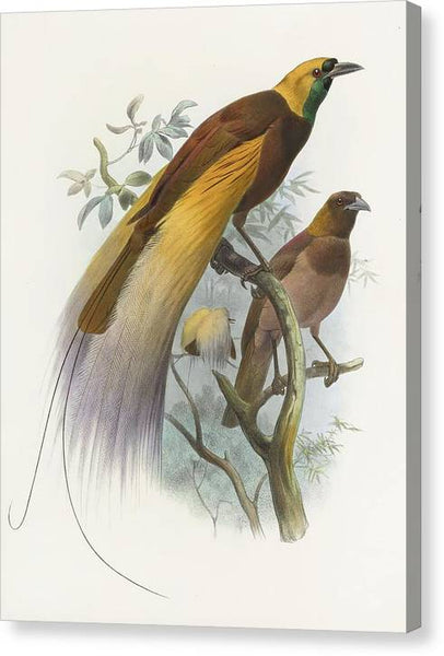 Daniel Giraud Elliot Birds of Paradise Paradisea apoda 1873 - Stretched Canvas Print Ready to Hang