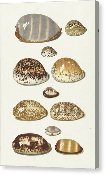 Johann Gustav Hoch Cowrie Shells 2 ca 1779 - Stretched Canvas Print Ready to Hang