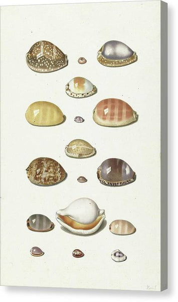 Johann Gustav Hoch Cowry Shells ca 1779 - Stretched Canvas Print Ready to Hang