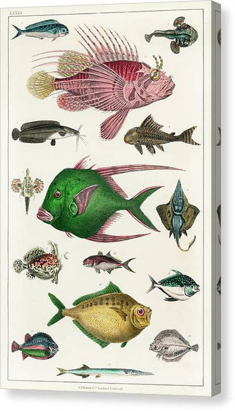 Oliver Goldsmith Collection of various fishes from A history of the earth and animated nature 1820 - Stretched Canvas Print Ready to Hang