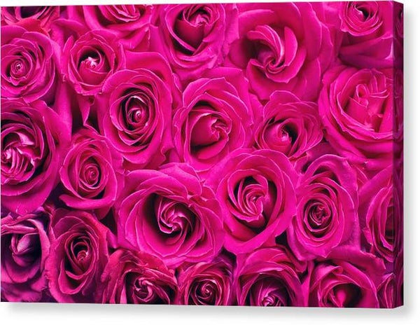 Pink Roses Roses Background Backdrop Pink Romance -  Stretched Canvas Print Ready to Hang