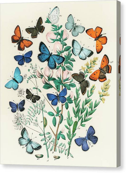 William Forsell Kirby Illustrations from the book European Butterflies and Moths 1882 - Stretched Canvas Print Ready to Hang