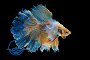 Betta, Male Assorted (ea)