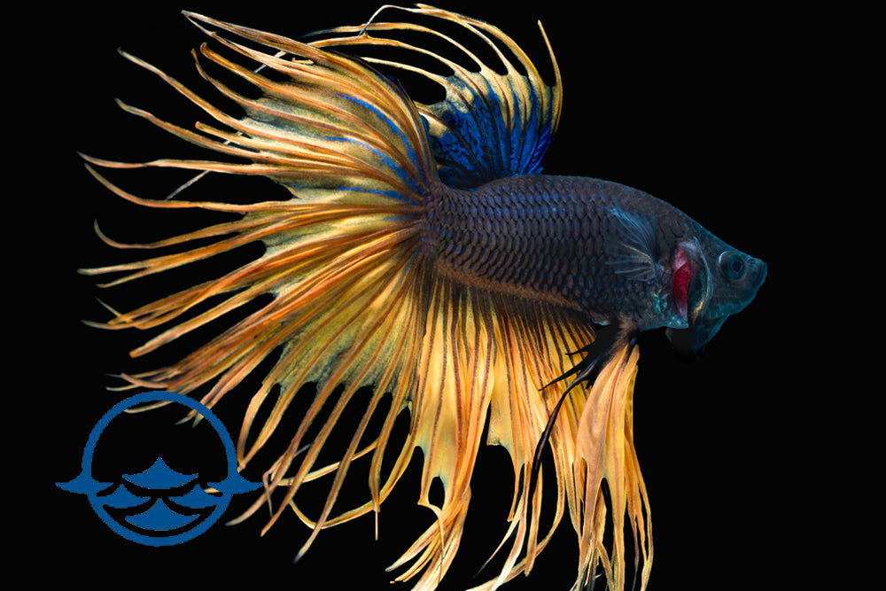 Betta, Male Crowntail Assorted (ea)