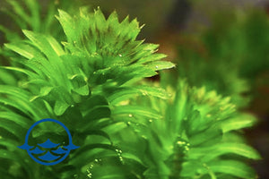 Elodea (Anacharis) Stalks