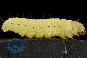 Insects: Wax Worms - School Shop